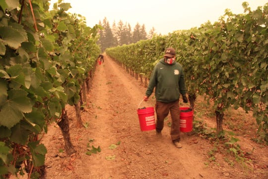 Workers harvest Pinot noir grapes for sparkling wine under smoky skies at a Willamette Valley Vineyards site in Dundee on September 10, 2020.