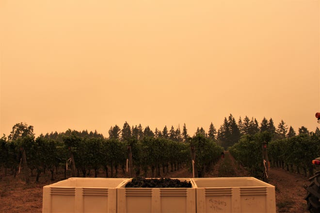 Vineyard workers harvest grapes for sparkling wine under smoky skies at Willamette Valley Vineyards site in Dundee on September 10, 2020.