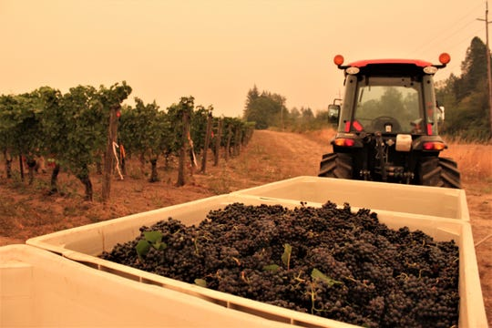 Grapes for sparkling wine harvested under smoky skies at a Willamette Valley Vineyards site in Dundee on September 10, 2020.