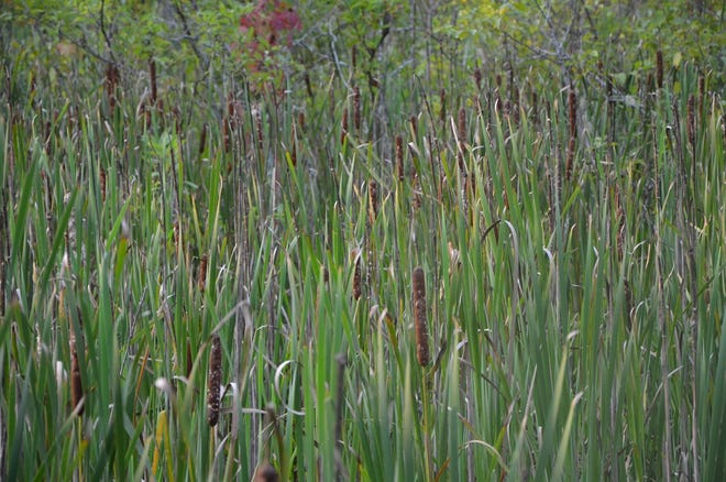 Cattails seed heads with their hot dog like appearance are now maturing and soon to be distributing seed for next season's plants.