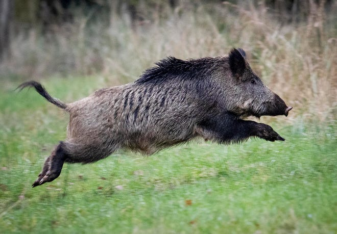 A wild boar jumps in the Taunus region near Frankfurt, Germany. Following a suspected case of African swine fever in Brandenburg, the Federal Minister of Food and Agriculture Julia Kloeckner informed about the results of the analysis after examining a sample of the carcass.