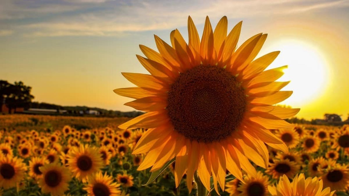 Happy news for 2020: Wisconsin farmer plants 2 million sunflowers