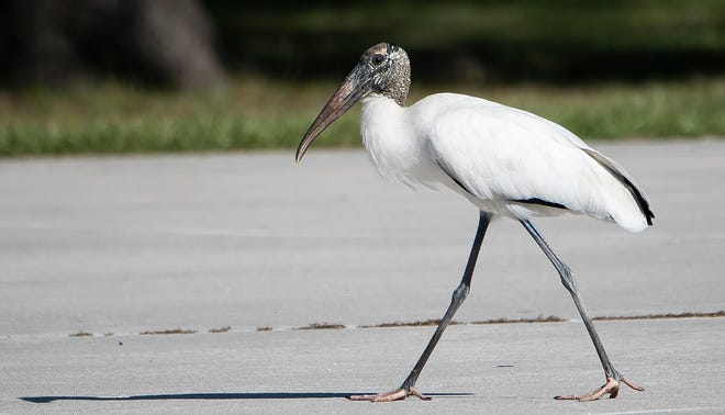 A Wood Stork makes its way across the basketball court at Tuscawilla Park in Ocala.
