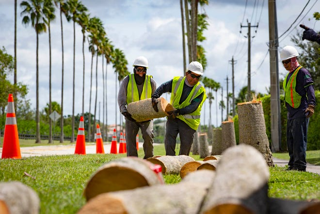 Crews are cutting down 40- to 50-foot tall Washingtonia palms that have been along Aero Club Drive in Wellington since the 1980's. [ALLEN EYESTONE/ PALMBEACHPOST.COM]