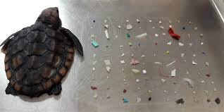 Deceased post-hatchling loggerhead sea turtle next to plastic pieces found in its stomach and intestines. [Gumbo Limbo Nature Center, CC BY-ND]