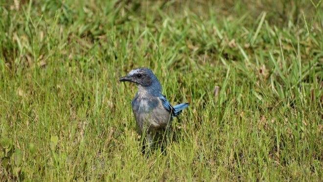 This Florida scrub jay was spotted in the neighborhood where The Environmental Conservancy of North Port has purchased two escheated lots from Sarasota County for habitat preservation.