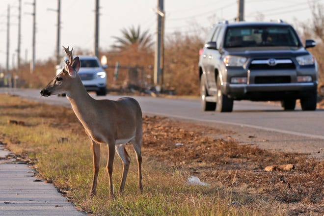 A Florida Key deer stands on the side of a highway in Big Pine Key.
