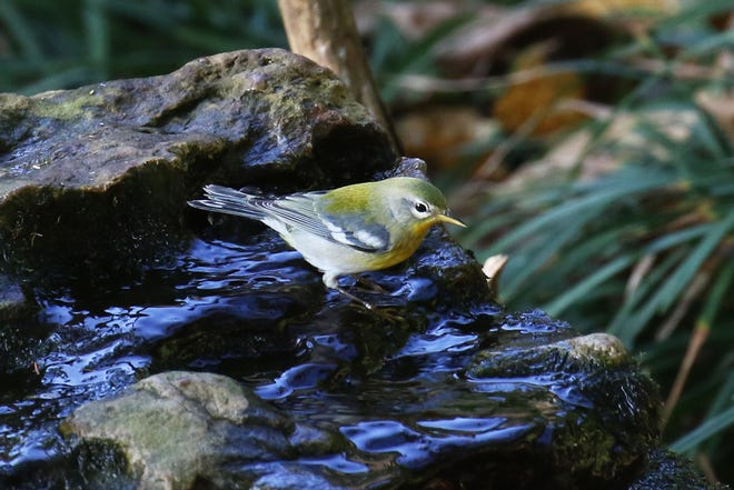An adult Northern Parula bathes at the backyard bubble rock before departing for home in Central America.