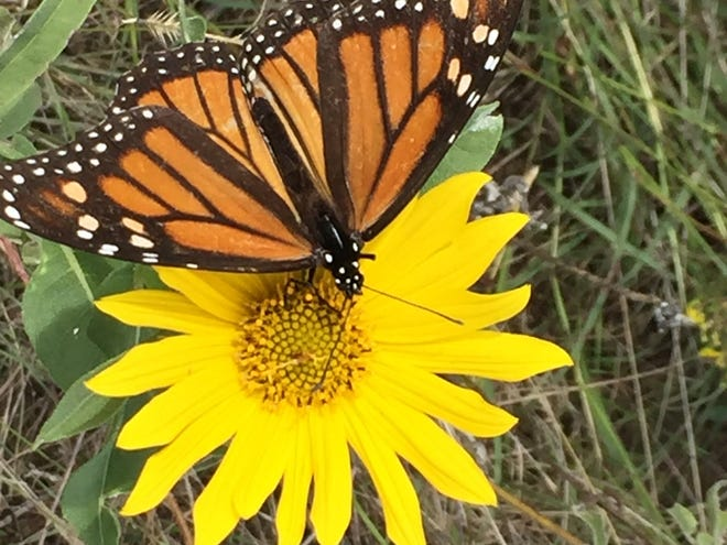 A monarch butterfly rests on a sunflower. The Miles for Monarchs event, through the Texas Master Naturalists, encourages participants can walk, run, bike, paddle, or hike miles to raise awareness for the migration through Sept. 19 and then log the miles on their website.