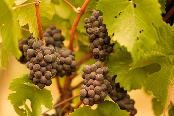 Smoke and ash from wildfires threaten the grape crop throughout the state, especially the red varieties, although the amount of smoke taint probably won't be known for more than a month.