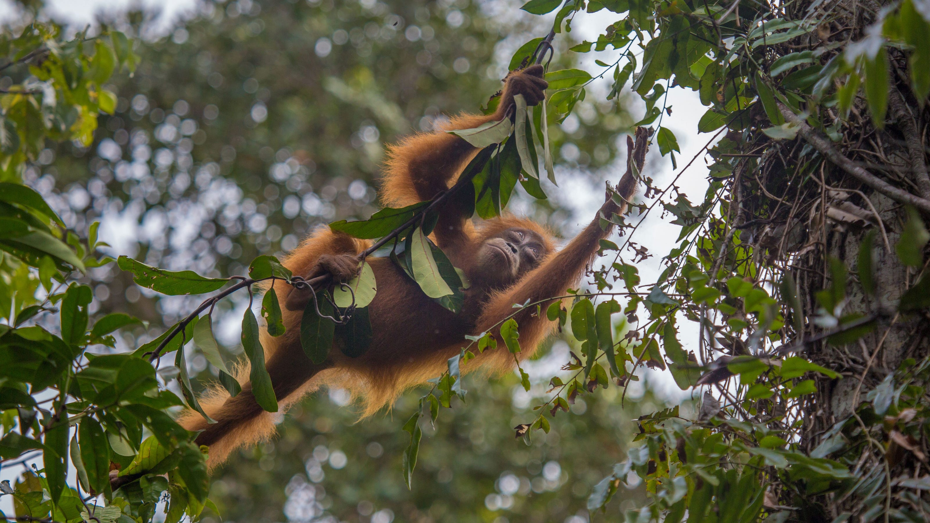 New friends: An orangutan makes itself at home in a village of humans - USA TODAY