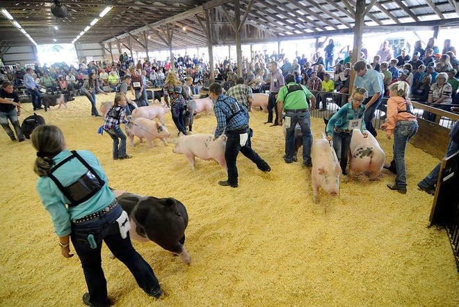 While junior fair livestock shows always are a focus of the Ashland County Fair that will be especially true this year as COVID-19 has turned the annual event into a junior fair-only offering.