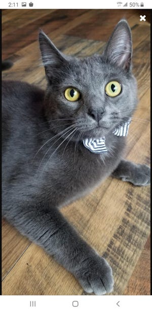 Luka, a Russian blue-mix cat living in Galion, is a contender for America's Favorite Pet.