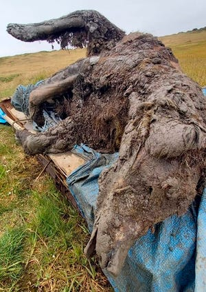 In this undated photo released by North-Eastern Federal University, a carcass of an Ice Age cave bear found on Bolshoy Lyakhovsky Island, or Great Lyakhovsky, the largest of the Lyakhovsky Islands belonging to the New Siberian Islands archipelago between the Laptev Sea and the East Siberian Sea in northern Russia. Reindeer herders in a Russian Arctic archipelago have found an immaculately preserved carcass of an Ice Age cave bear revealed by the melting permafrost, which has all its internal organs, teeth and even its nose intact.