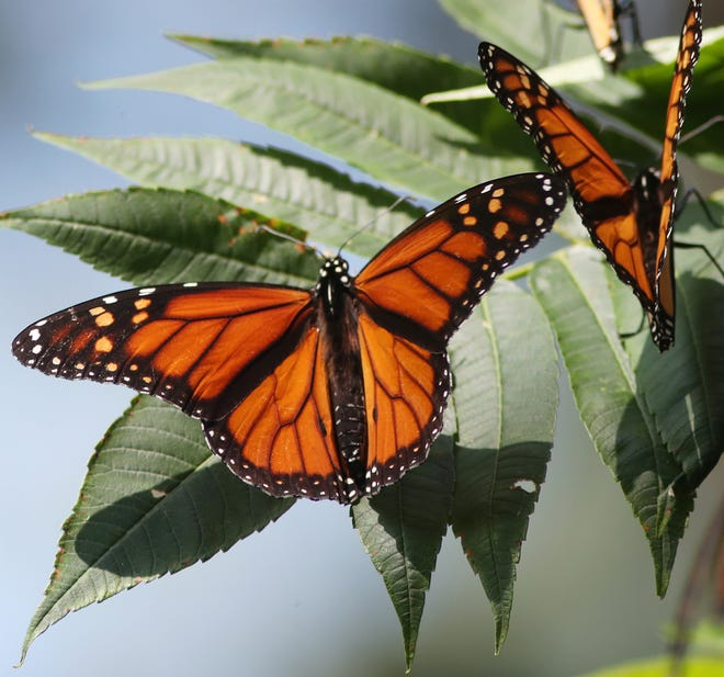 A Monarch butterfly spreads its wings as clusters of butterflies gather along the Lake Erie shoreline at Wendy Park on Whiskey Island on Sunday Sept. 13, 2020 in Cleveland. Hundreds of the butterflies stop to rest during their annual migration, a 3,000 mile migration from Canada to Mexico.