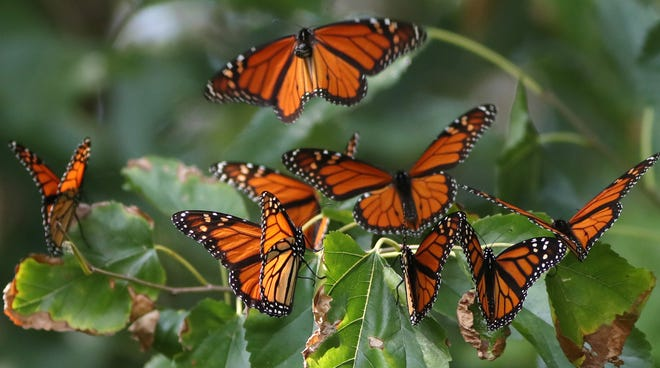 Celebrate the Monarch butterfly this week at the Cincinnati Zoo's Virtual Monarch Festival.