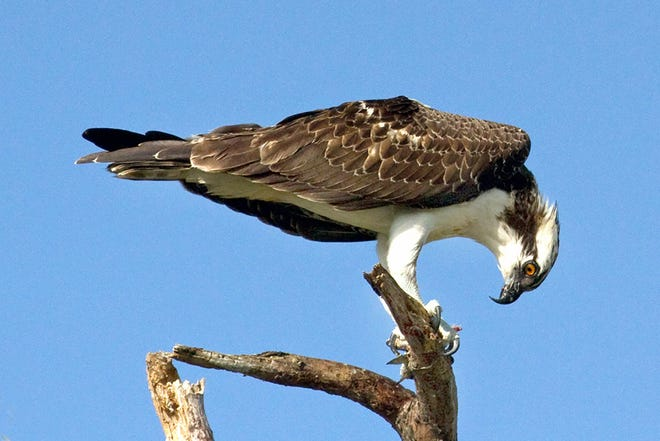 A juvenile osprey with white edging on feathers and orange eyes enjoys an afternoon fish snack.