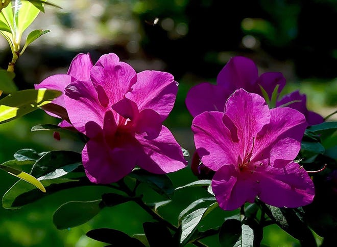 Bloom-A-Thon Lavender azaleas have large flowers that are 3 1/2 inches wide.