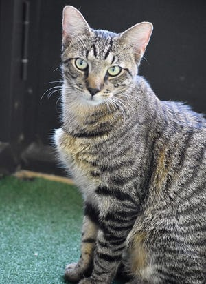Clemson is a fun-loving 1.5-year-old male kitty. He enjoys exploring in the kitty kottage and has made friends with the other cats he shares a room with. Clemson is available to adopt at PetSense in Mount Dora and will make a wonderful companion.