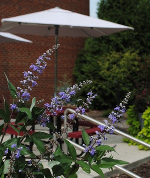 "A new variety of castetree, which is a shrub, called Vitex ""Helen Froehlich"" (sometimes sold as Summertime Blues™) that will be offered during the online fall sale. Seen here growing on the east patio at the Welcome Center, the shrub is a low-maintenance plant for hot, dry, sunny spots."