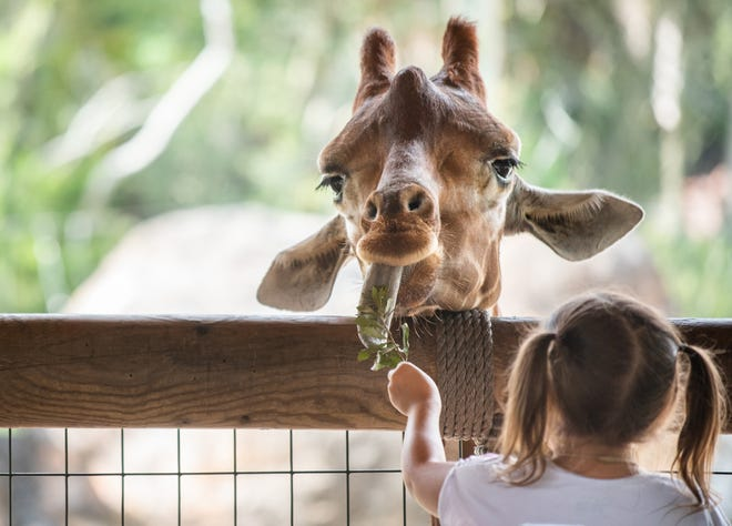 A young Jacksonville Zoo and Gardens patron feeds one of the resident giraffes.