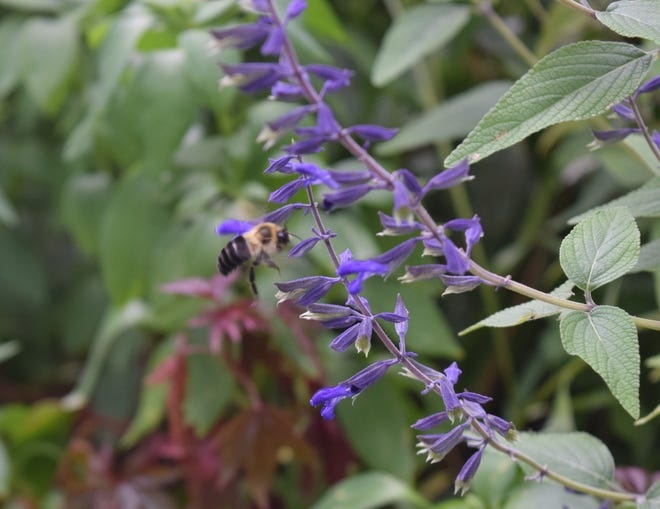 Salvia comes in two forms, herbaceous and woody evergreen. Both can be transplanted, and September is a good time to do it.