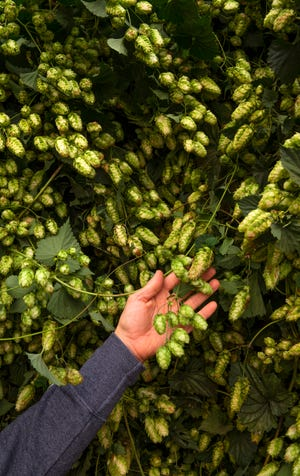 Erica Lorentz of Sodbuster Farms runs her hand through fresh hops on their way to processing at the farm north of Salem.