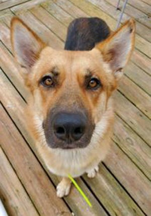 Kimber, an adult male German Shepherd, is available for adoption from SAFE Pet Rescue of Northeast Florida. Call 904-325-0196. Vaccinations are up to date.