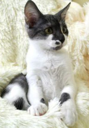 Marcelina, a baby female domestic short hair, is available for adoption from Wags & Whiskers Pet Rescue. Routine shots are up to date. For information, call 904-797-6039 or go to wwpetrescue.org to see more pets.