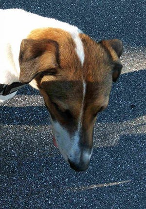 Beverly, an adult female foxhound, is available for adoption from Wags & Whiskers Pet Rescue. Routine shots are up to date. For information, call 904-797-6039 or go to wwpetrescue.org to see more pets.
