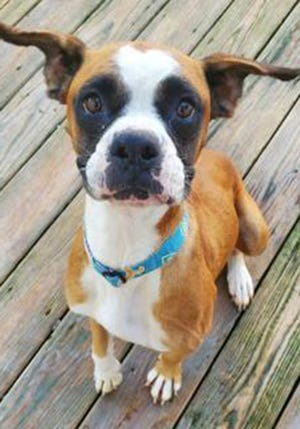 Lyla, an adult female boxer, is available for adoption from SAFE Pet Rescue of Northeast Florida. Call 904-325-0196. Vaccinations are up to date.