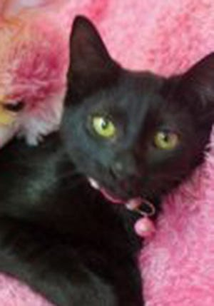 Elizabeth, a baby female domestic short hair, is available for adoption from Wags & Whiskers Pet Rescue. Routine shots are up to date. For information, call 904-797-6039 or go to wwpetrescue.org to see more pets.