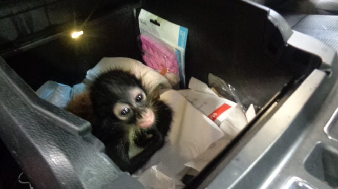 On June 23, U.S. Customs and Border Protection officers discovered a spider monkey hidden inside the center console of a white 2015 Ford F-150 truck at the border in Hidalgo, Texas.