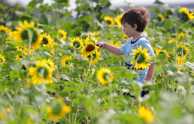 Four-year-old Will Pohribnij cuts a sunflower at Thompson Strawberry farm in Bristol on Tuesday.