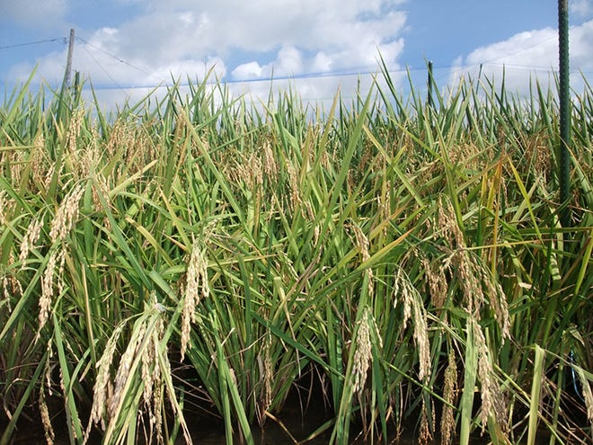 Rice seeds are arranged on the plant in groups, called spikelets. This field of rice is ready for harvest.