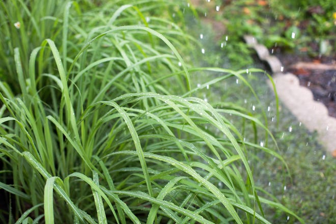 Lemongrass getting rain while background shows flooding in front yard.