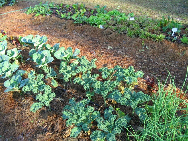 Winter gardens provide lots of good lettuce and leafy greens for salads and stir-fries.