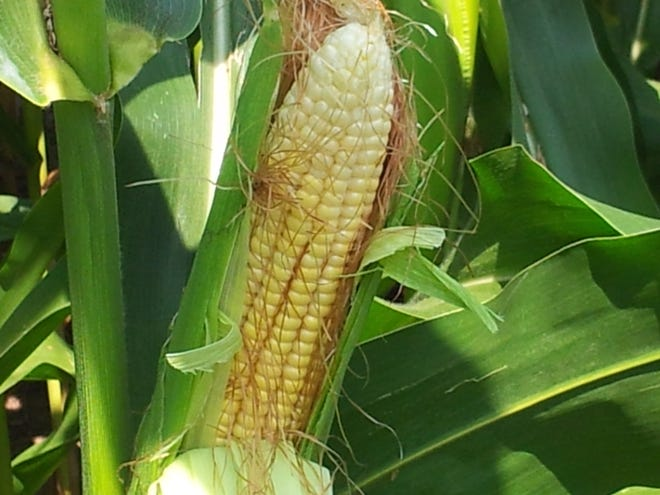 Wisconsin produces 11 percent of the corn silage in the nation and more than 670,000 acres of corn are used for corn silage.