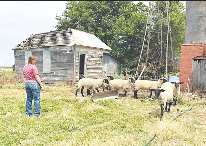 Halle Young checks on her new flock of six young ewes, a package-grant from the Kansas Sheep Association that she won through an application process.