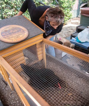 Kitty Ruhstaller watches her hen Aunt Tena in its coop at her home in Stockton on Thursday. The 74-year-old real estate agentembarked on a legal battle with the city in 2018 after a neighbor complained about her two hens, whom Ruhstallerhas described as among hermost cherished family members.
