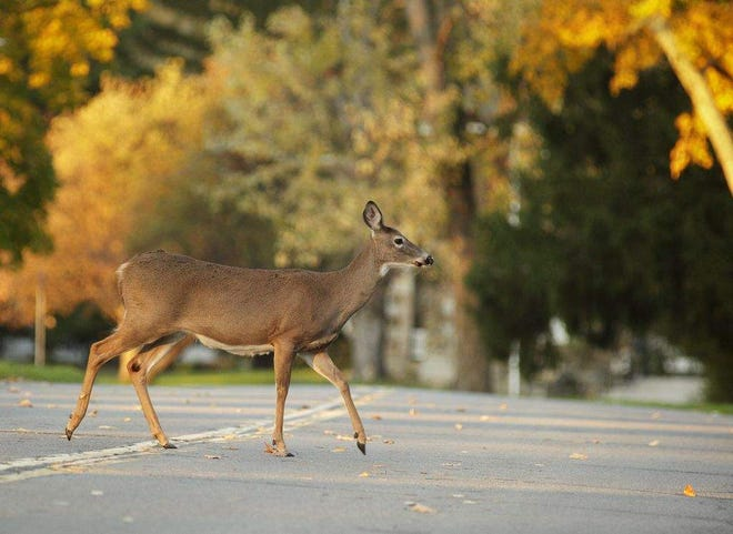 Deer are involved in 90% of animal-related vehicle crashes, according to the N.C. Department of Transportation.