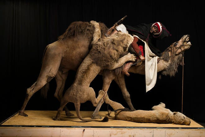 """This undated photo shows the the 19th-century """"Lion Attacking a Dromedary"""" display at the Carnegie Museum of Natural History in Pittsburgh. The diorama, which has been at the museum since 1899, has been put out of public view while officials at the Carnegie Museum of Natural History consider ethical and appropriateness issues."""