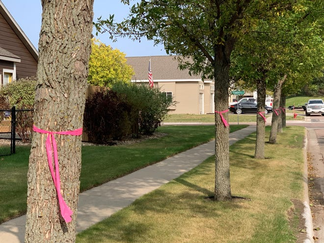 A line of ash trees on Birch Street east of Splitrock Bouelvard in Brandon are tagged with pink ribbons on Wednesday, Sept. 16, 2020.