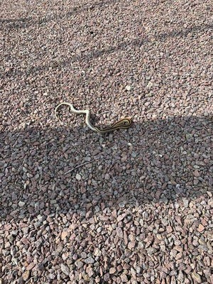 A bird dropped this garter snake onto a NorthWestern Energy substation causing 3,300 NorthWester customers to lose power Wednesday afternoon.