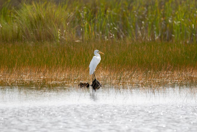 An egret perches on a log in a pool at St. Marks National Wildlife Refuge Sunday, Sept. 13, 2020.