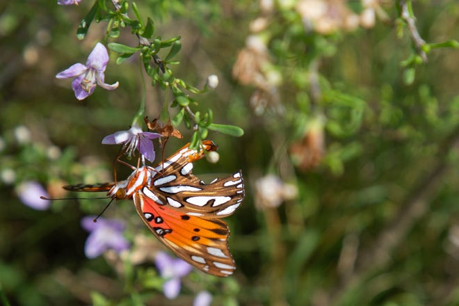 A butterfly stops on a flower in St. Marks National Wildlife Refuge Sunday, Sept. 13, 2020.