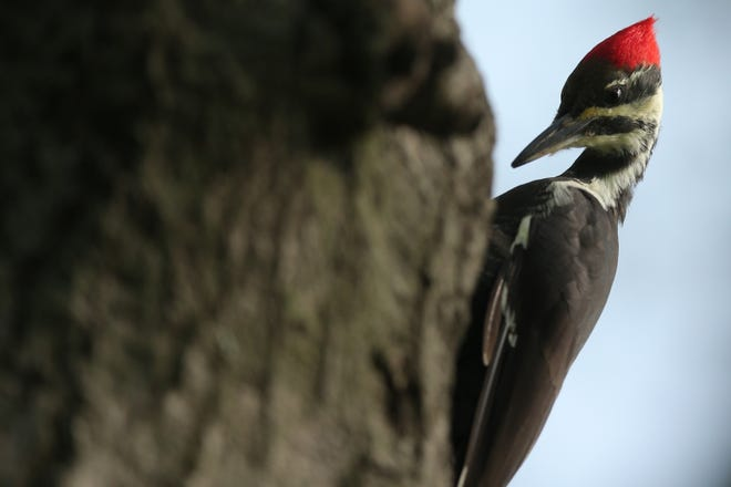 A view of a pileated woodpecker on a tree on the third fairway during the first round of the U.S. Open Golf Tournament at Winged Foot Golf Club - West in Mamaroneck, NY. [Photo by Brad Penner, USA TODAY Sports]