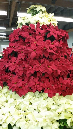 It is estimated that 35 million poinsettias are sold in the U.S. each year.