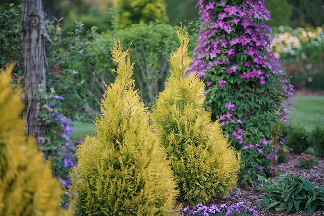 Fluffy arborvitae have extraordinary color potential.