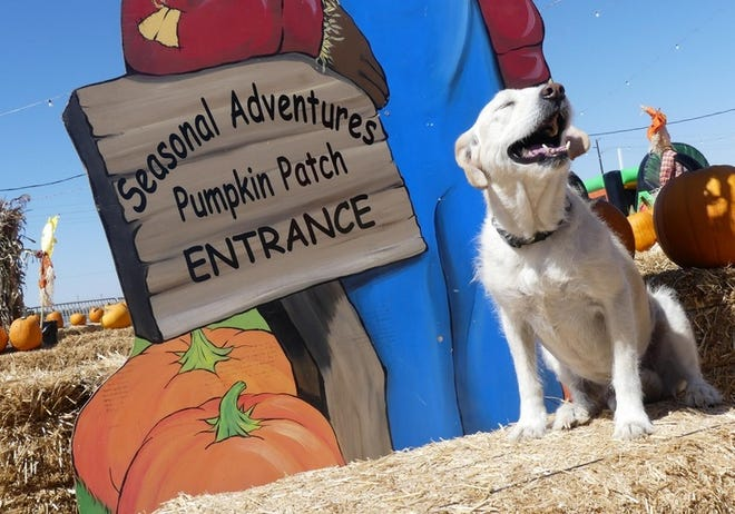 Leo the friendly guard dog last year at Stu Miller's Seasonal Adventures Pumpkin Patch slated to open this year on Oct. 1 on Mariposa Road in Hesperia.